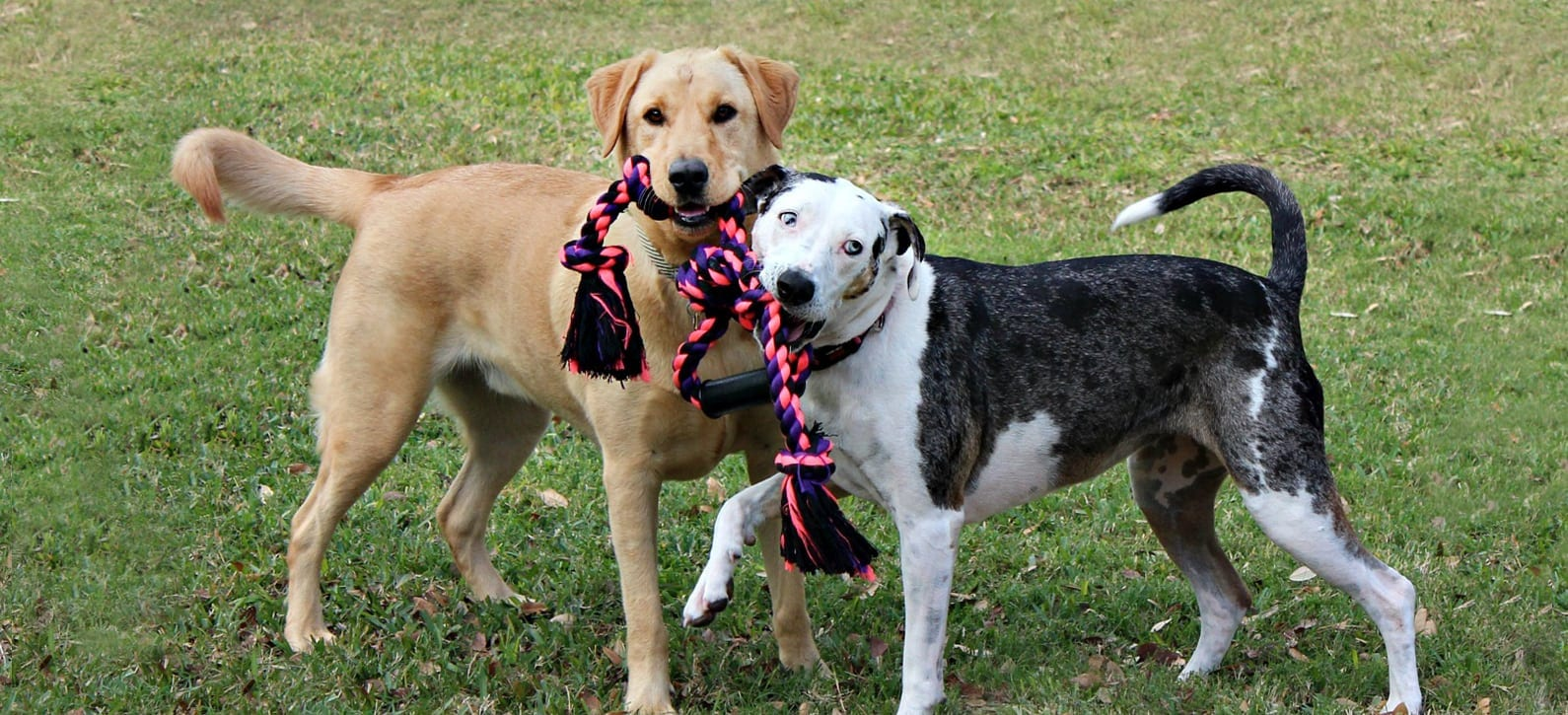 two dogs playing tug a war with rope toy: Animal Hospital in Belton