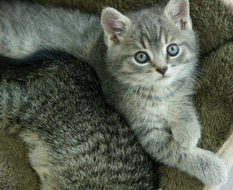 Kitten after spay surgery