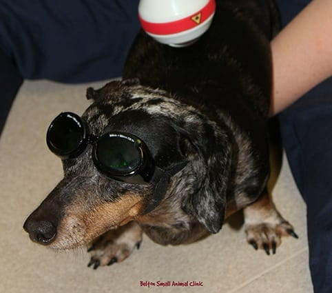 Pet Laser Therapy in Belton