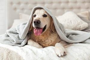 Happy young golden retriever under a blanket: Helpful Links in Belton