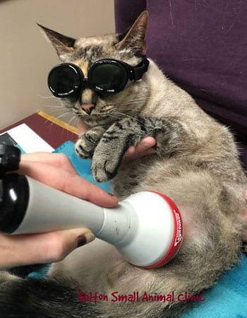 Cat wearing protective goggles during laser therapy treatment