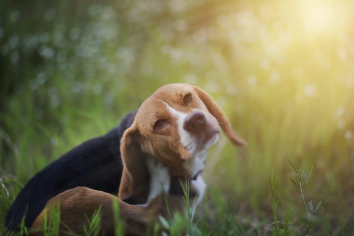 Dog Allergy Treatments in Belton, TX